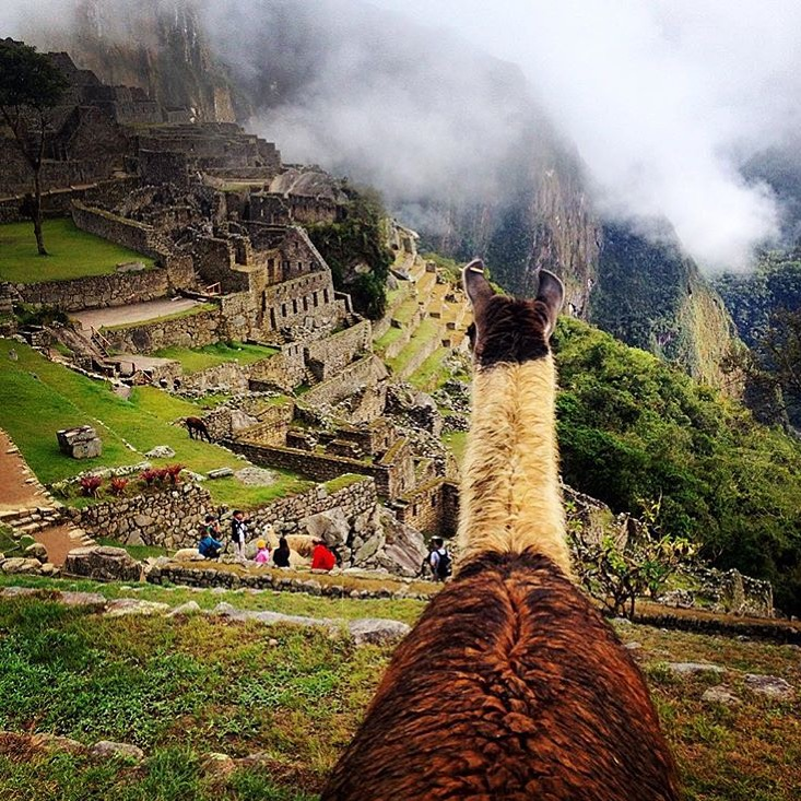 We interrupt our regularly scheduled horse photos for a special feature from my Insta-Friend, 🔷 @francb07 🔷 as she climbs Machu Picchu along with the llamas! You may recall @francb07 has shared many of her spectacular photos from her home in Perú. Thanks, Fran! ........ Tag your photo #lifebetweentheears for a chance to be featured. Ride On! ^^ ........ #machupicchu #peru #llamalove #thankyou #fran #ibetyourlegsburnedafterthatxcvbnm,
