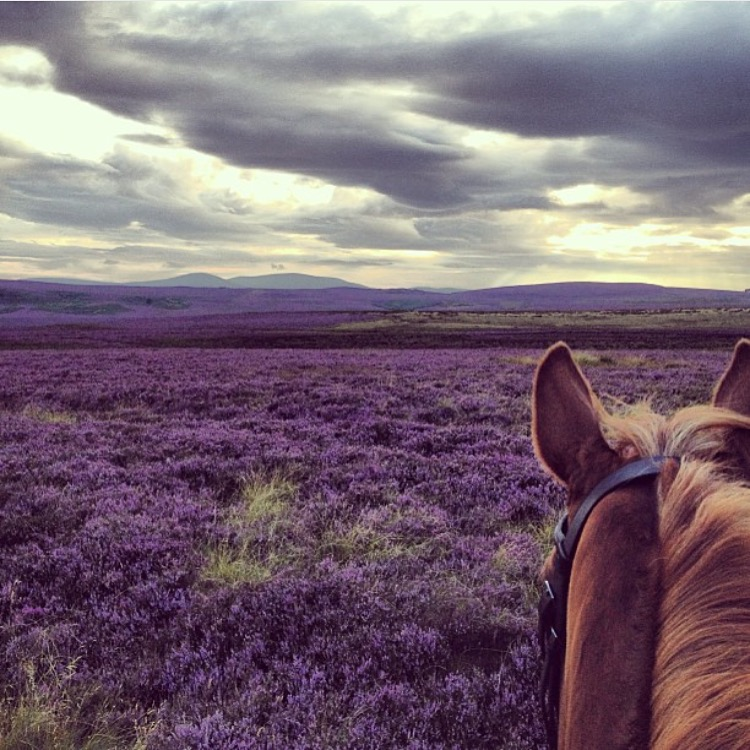 Heather as far as the eye can see. Thank you 🔷 @hughrt 🔷 for sharing your slice from the northeast of England. ........ Tag your photo #lifebetweentheears for a chance to be featured. Ride On! ^^ ...... #equestriantravel #equestrianphotography #heather #northumberland #uk #thankyou #hughrt