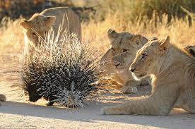Porcupine hunting.jpeg