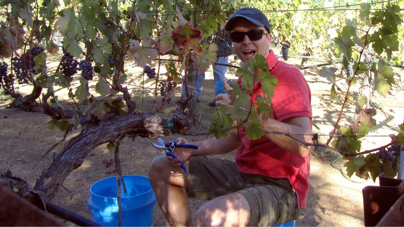 9 Steve Hunyor picking grapes