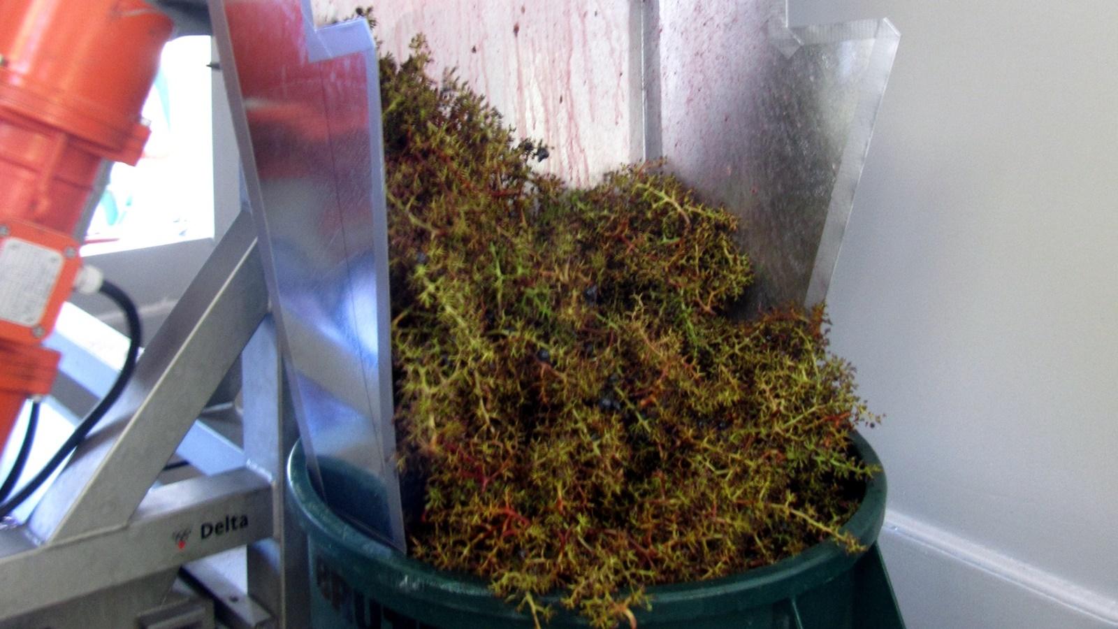 2 Grape stems falling out of destemmer