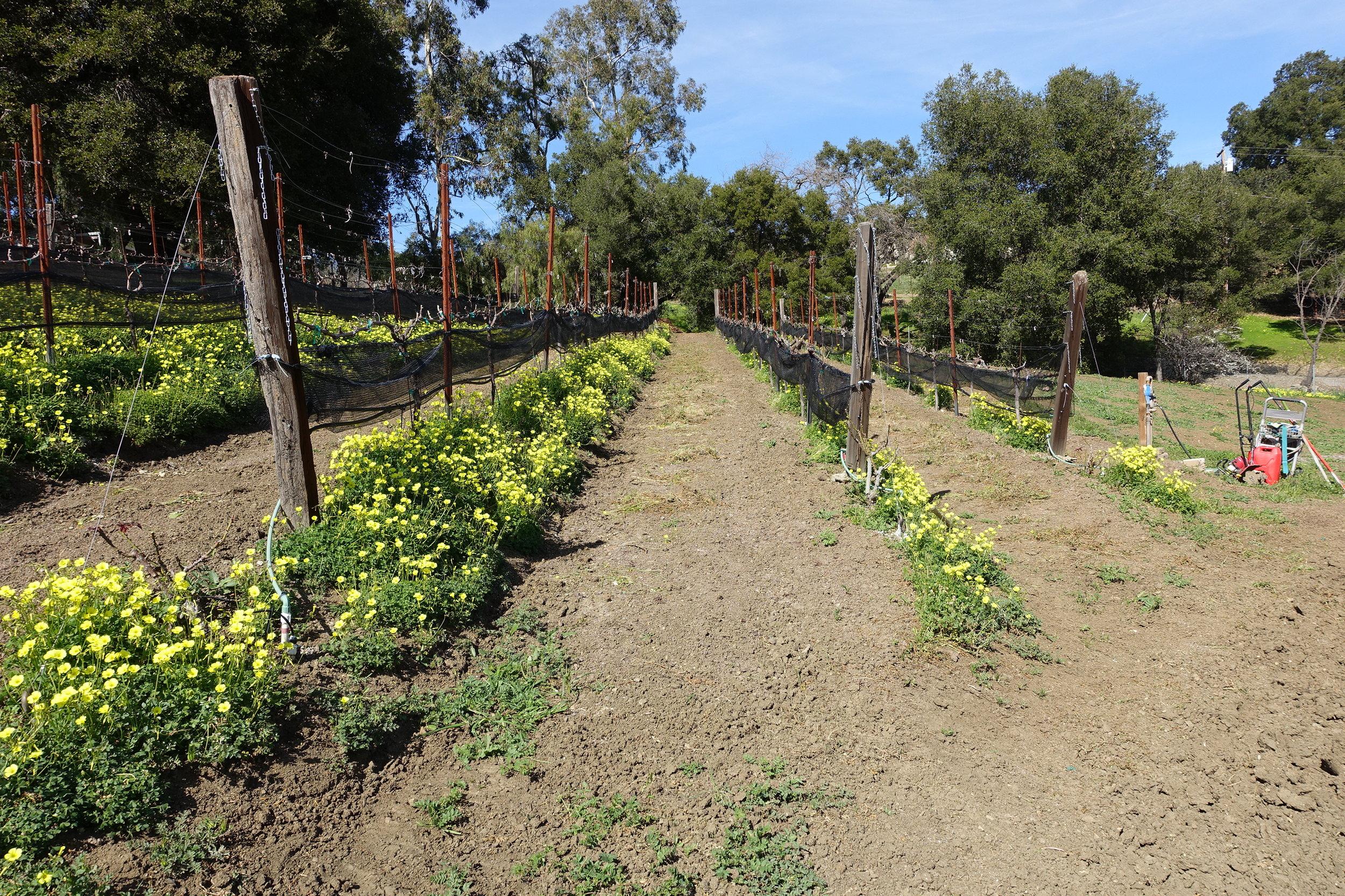 Weeding in upper vineyard.JPG