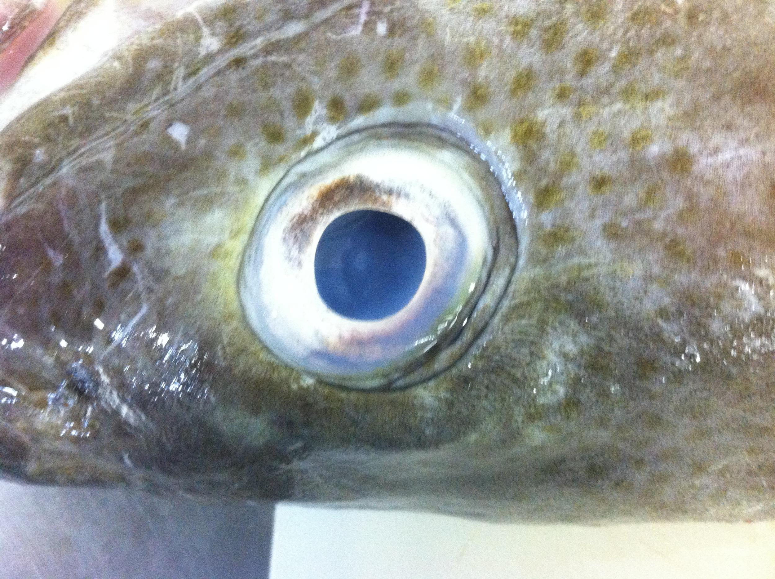 Cod eye.jpg