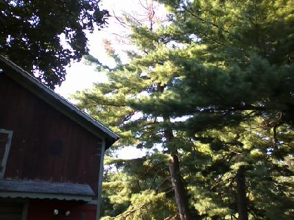 Large White Pine + Being struck by lightning + Leaning over a barn = Disaster!