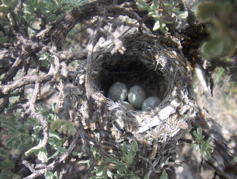 Songbird_Nest_Eggs.jpg