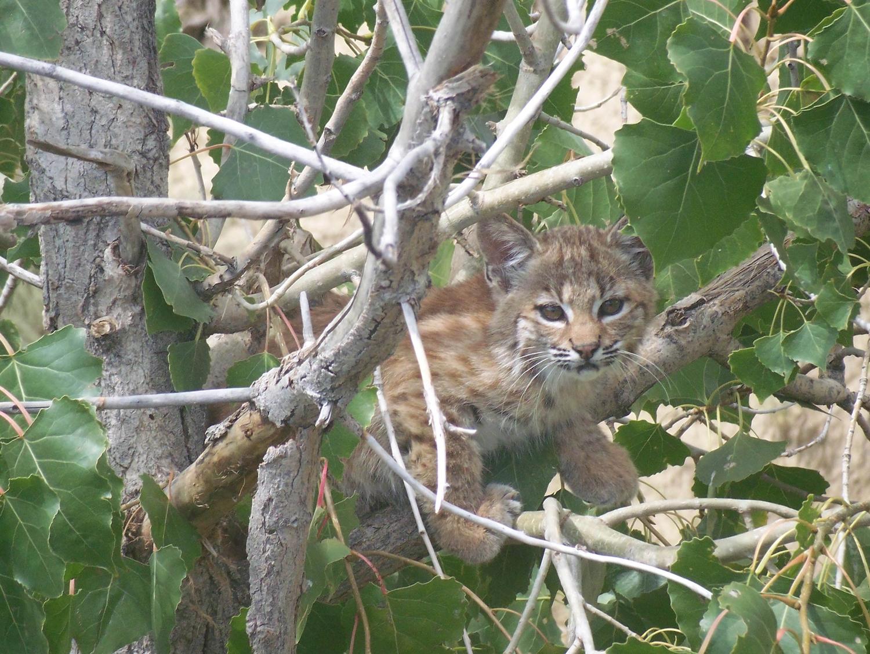 Bobcat_Kitten.jpg