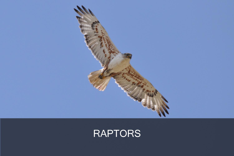 Raptor_Banner.jpg