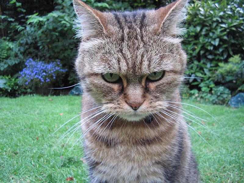 Angry_tiger