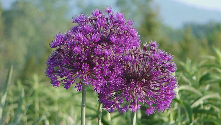 7371-purple-allium.jpg