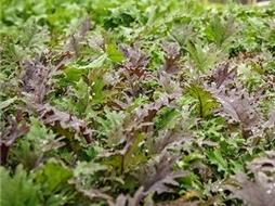 Kale-Russian-Red-stock-shots-HG-LSS-000_1528.jpg