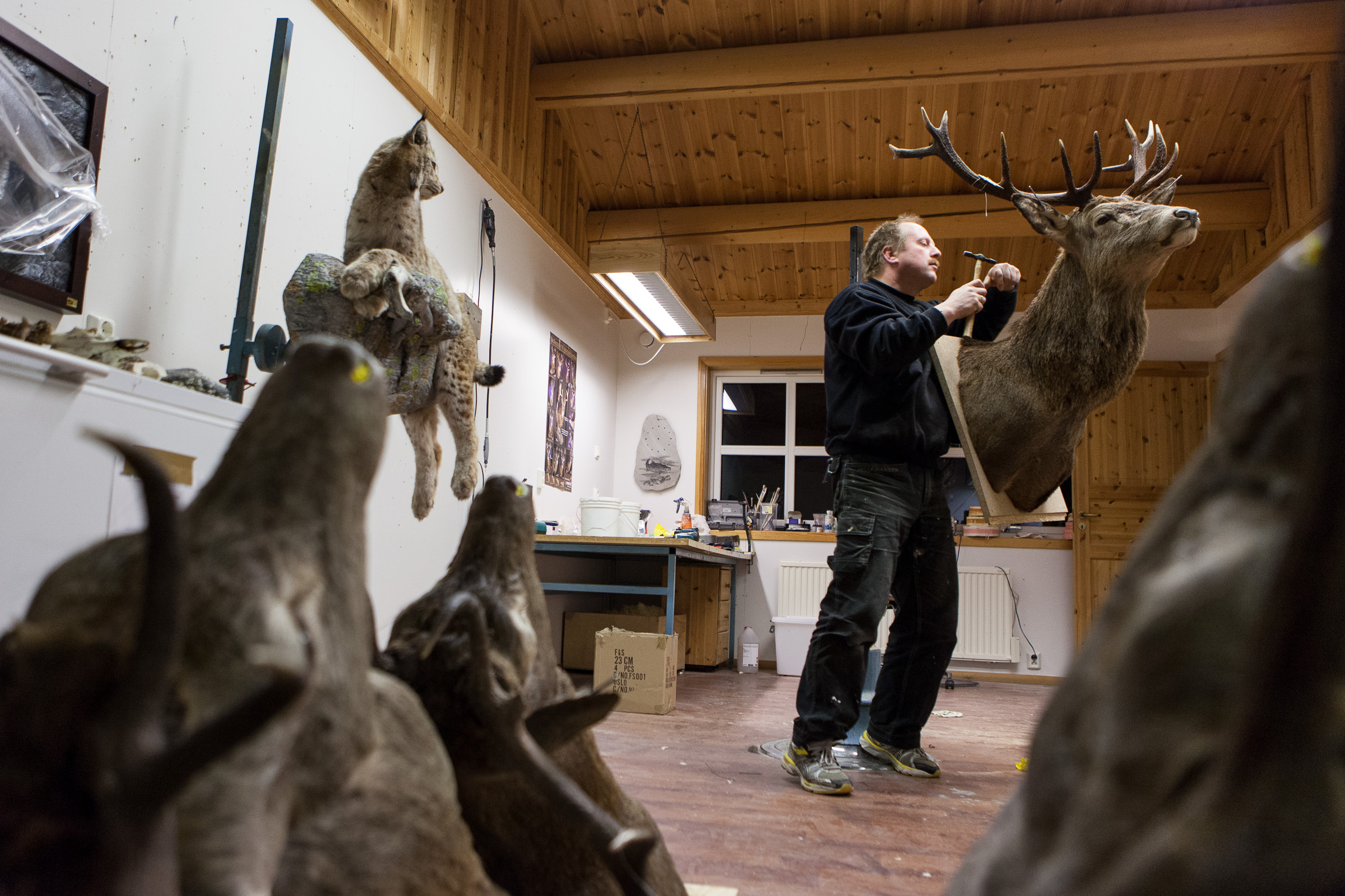Taxidermist Ole Geir Schanke in Rindal, Norway.