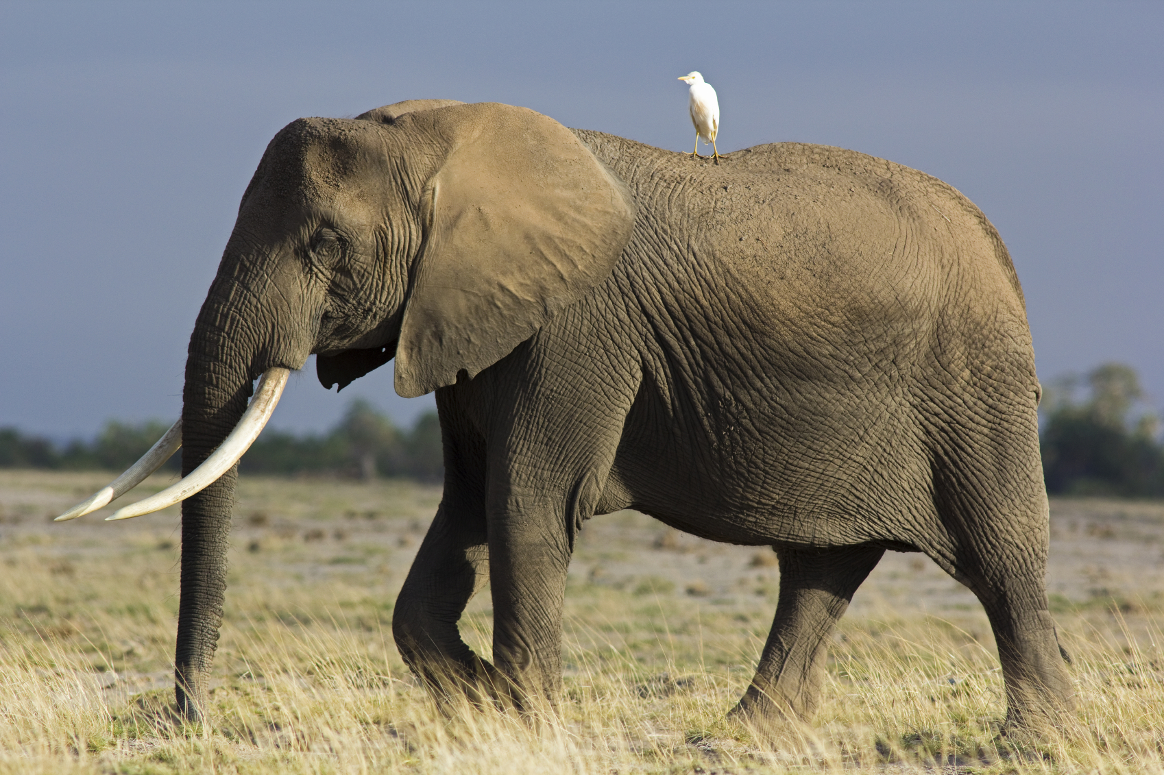 Elephant & Egrit - Symbiotic Relationship.jpg