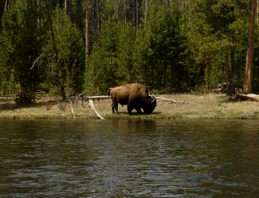 Bison, Firehole River, Yellowstone National Park