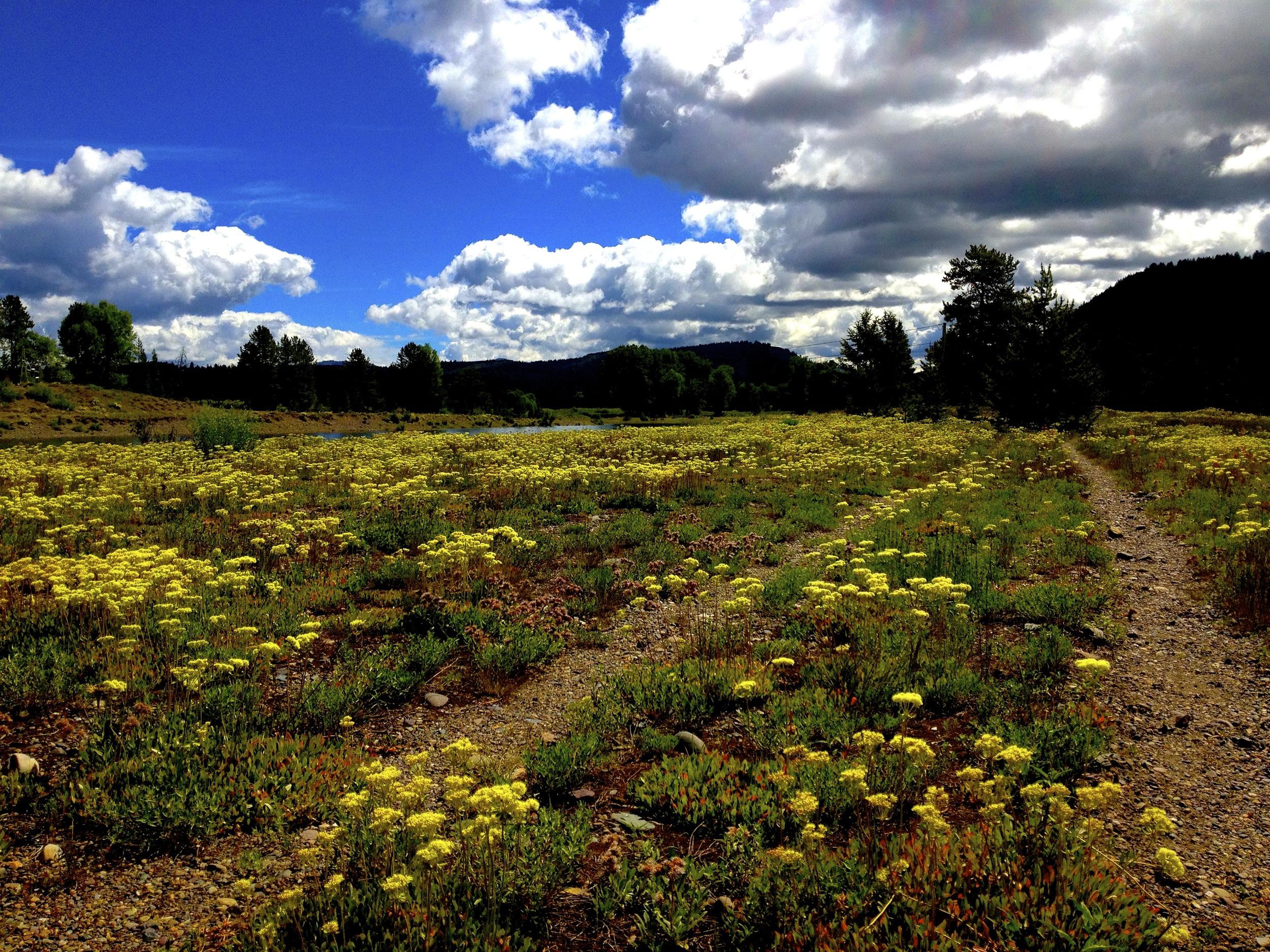 Wildflowers, Jackson Lake Dam, Grand Teton National Park