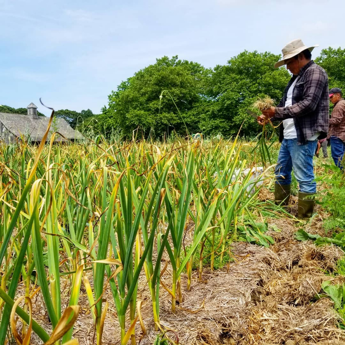 Rolando & the crew harvesting, cutting & cleaning garlic.