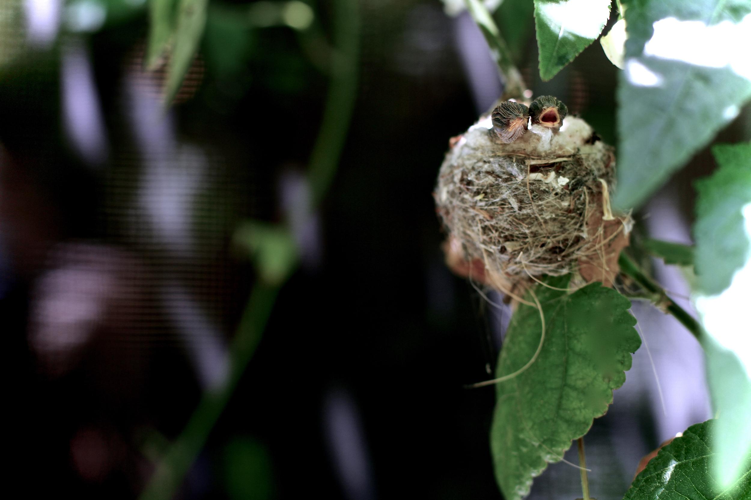 Hatched | Hummingbird Chicks | Santa Monica, California 2013 | Photo by Amanda Michaels-Zech
