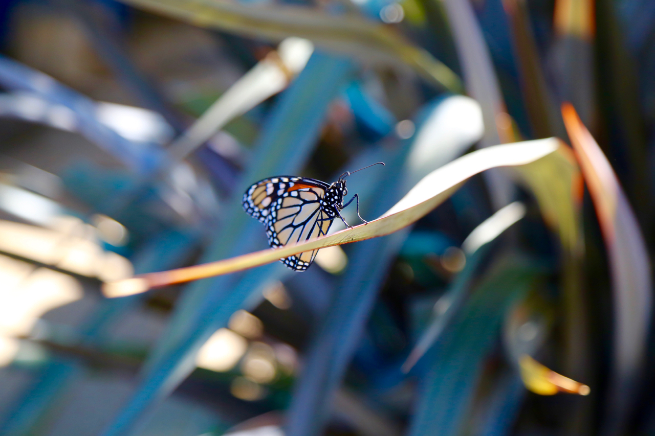Monarch | Santa Monica, California | Photo by Amanda Michaels-Zech