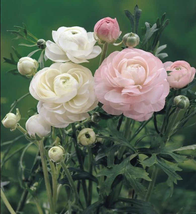 White & Light Pink Ranunculus