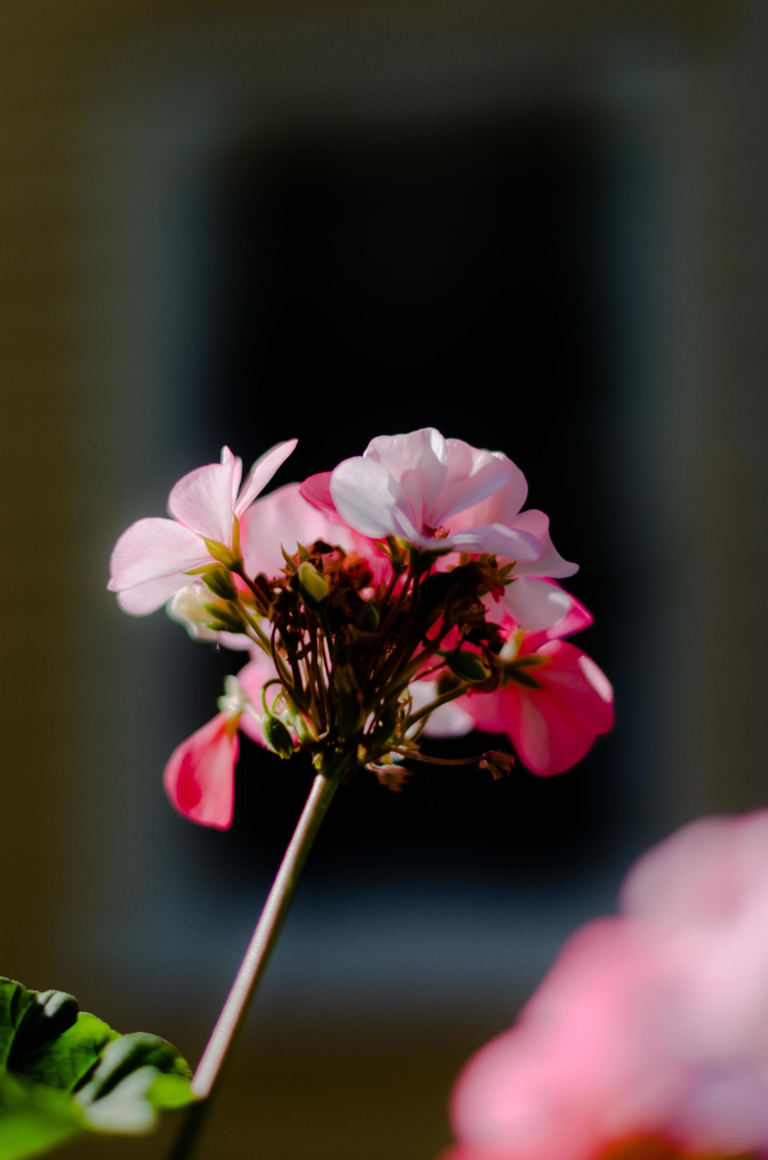 Carnation-0058.jpg