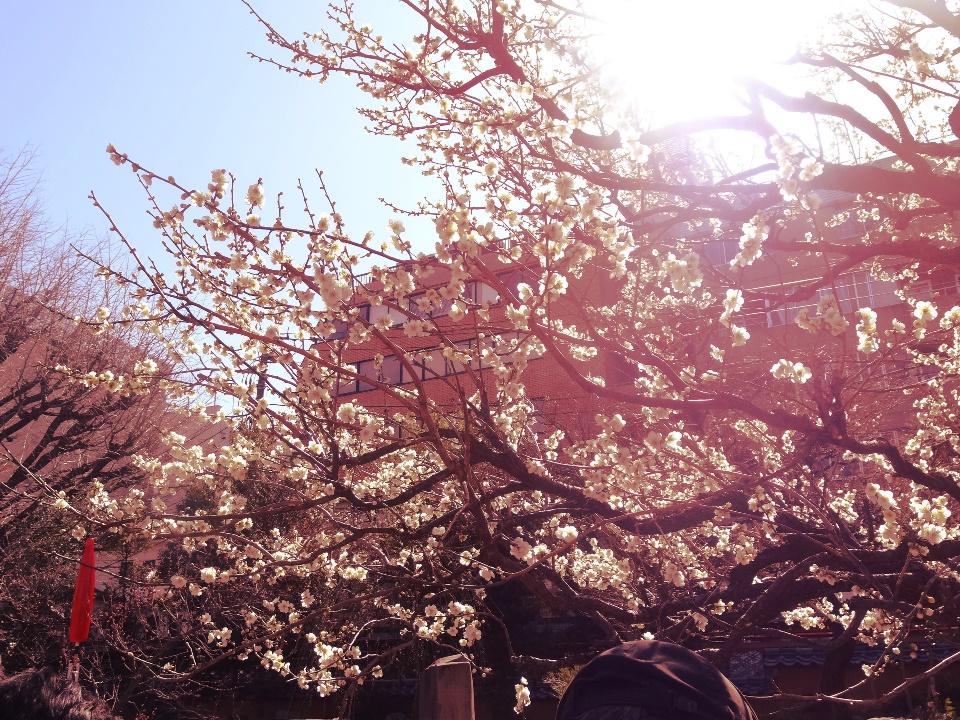 Ume (Japanese Plum) Blossom