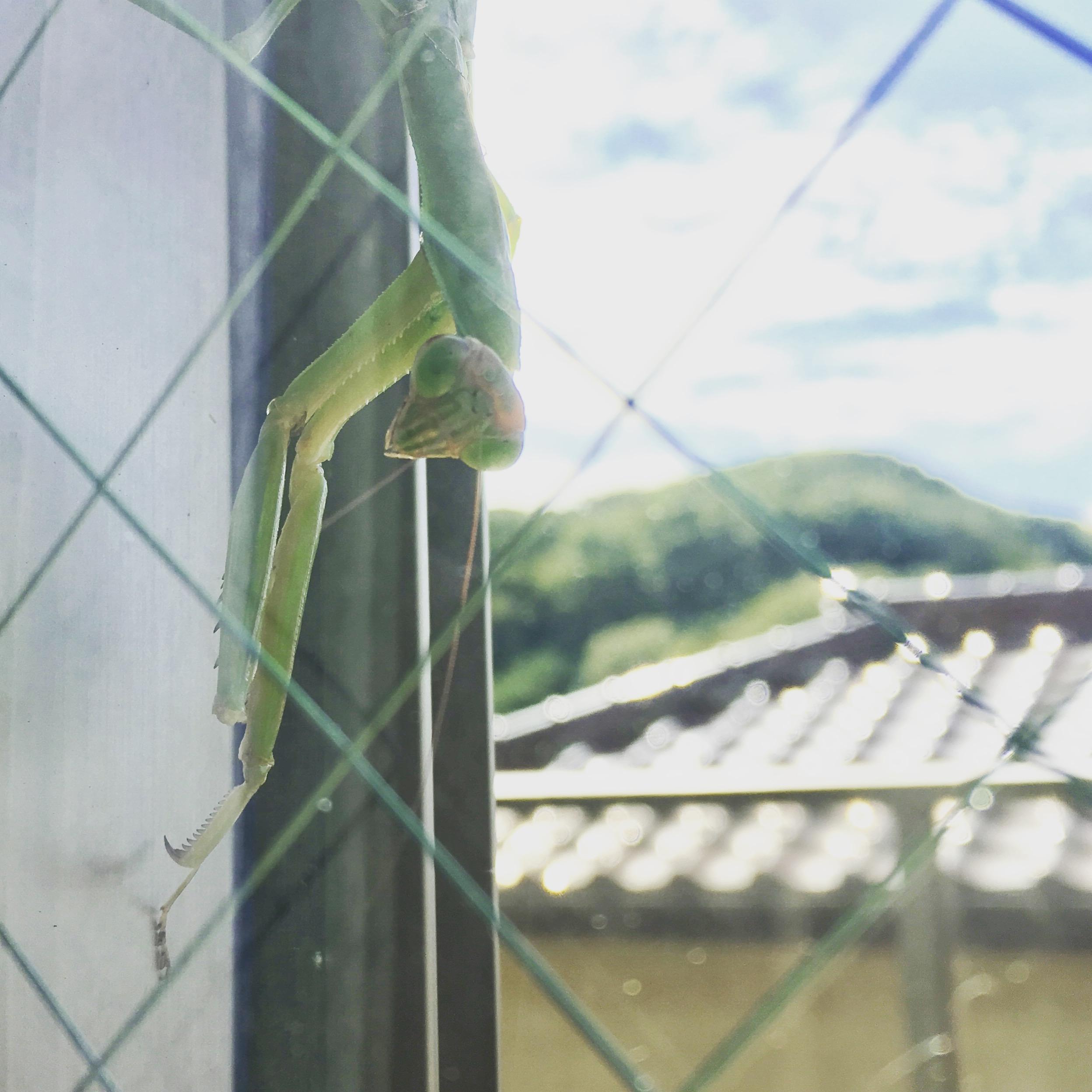 Angry-Mantis.JPG