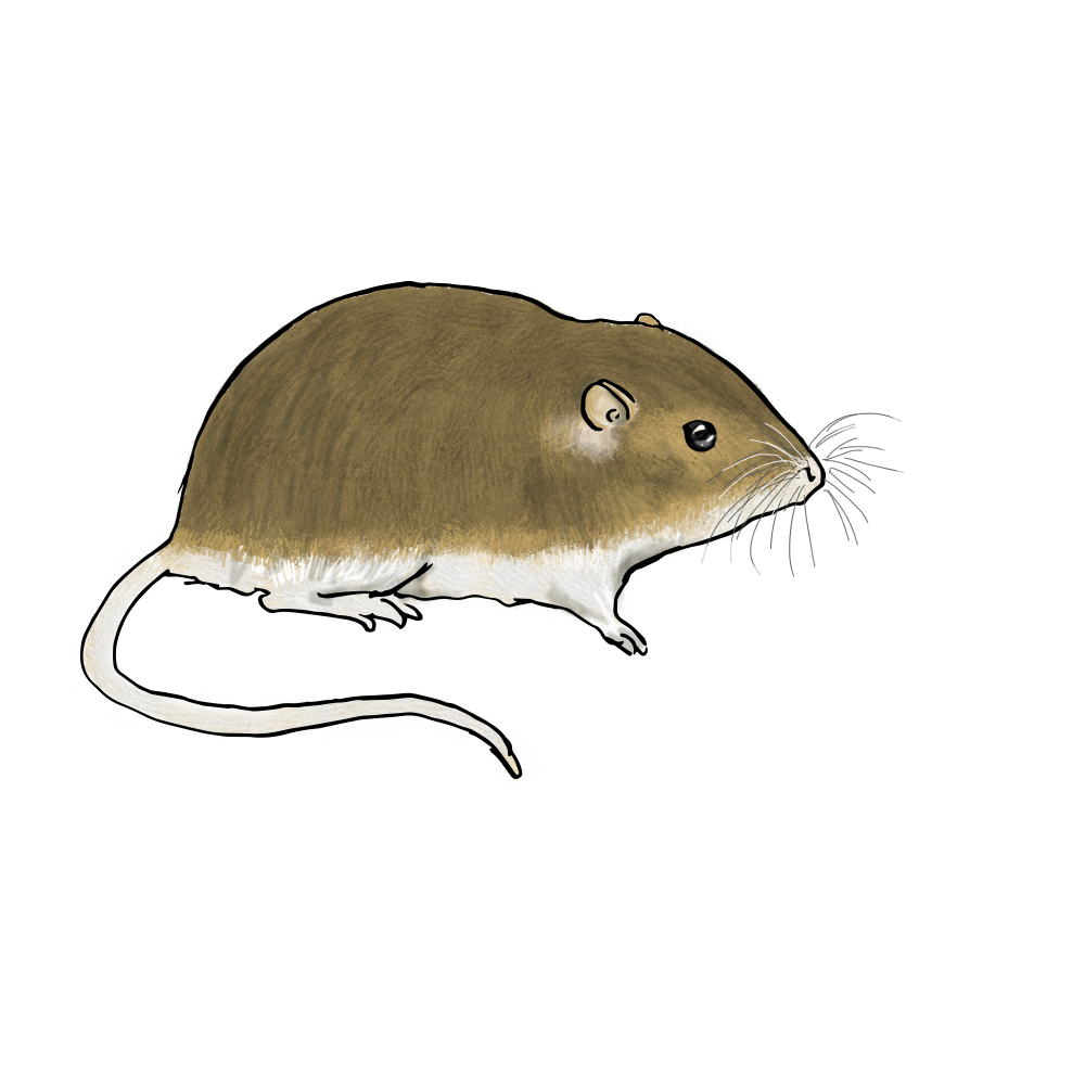 Ecosystem Interactive - Prairie Pocket Mouse