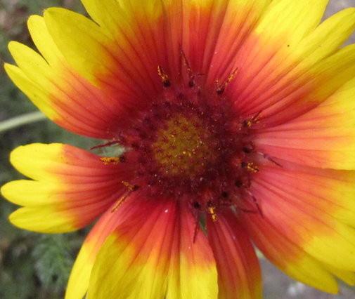 blanketflower.jpg
