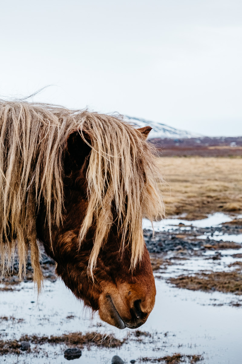 Iceland Trip Day 3 Horse Portrait