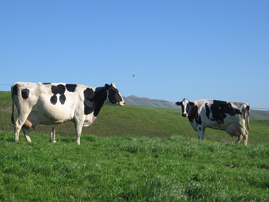 California Cows