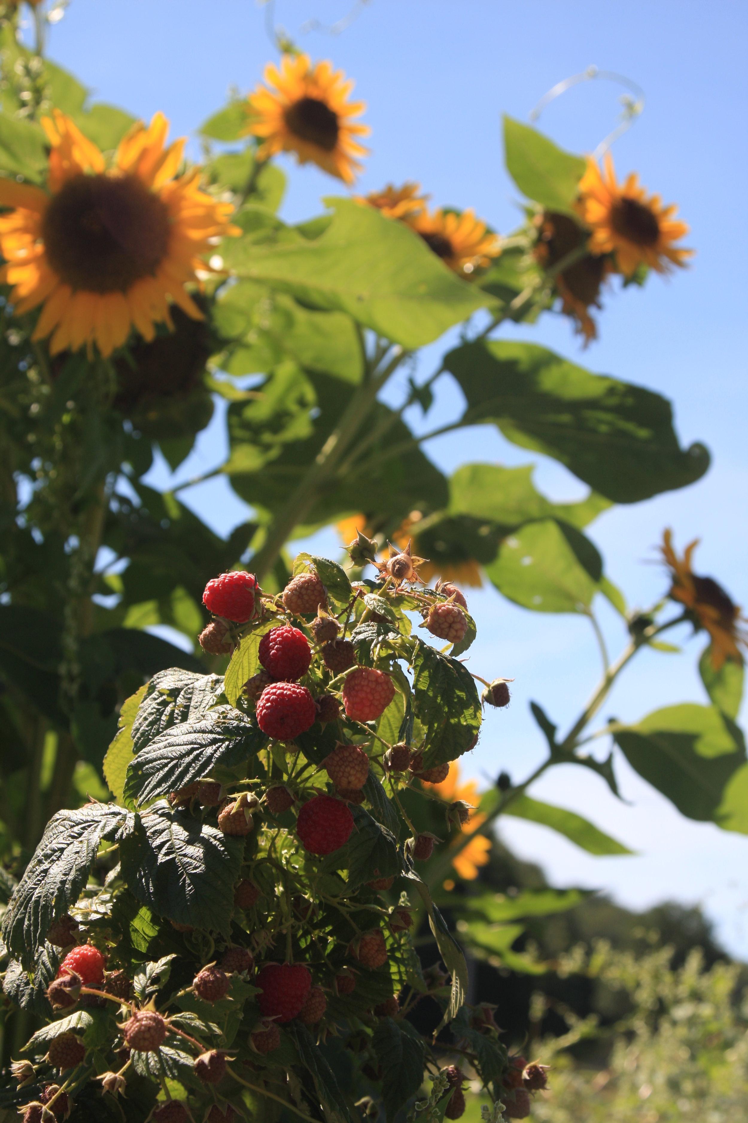 sunflower rasps.jpg