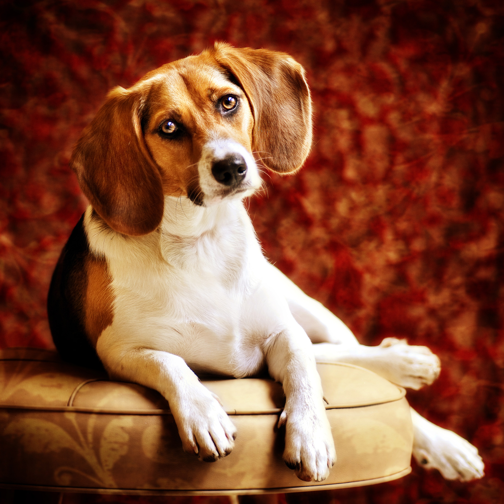 beagle pet portrait.jpg