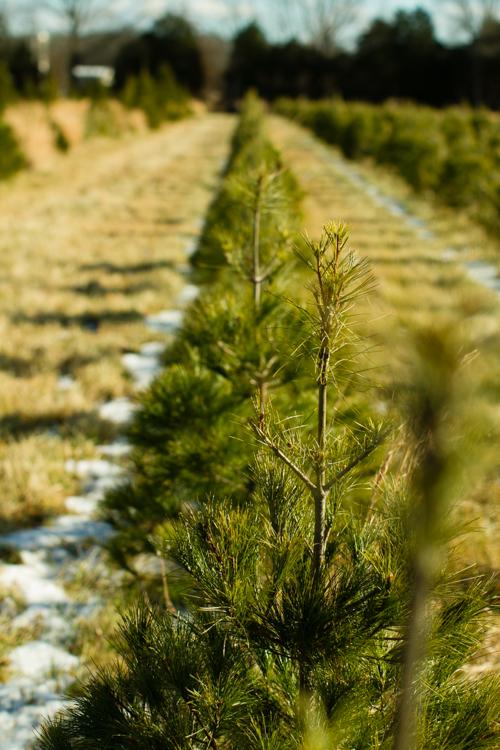 Christmastreefarm1