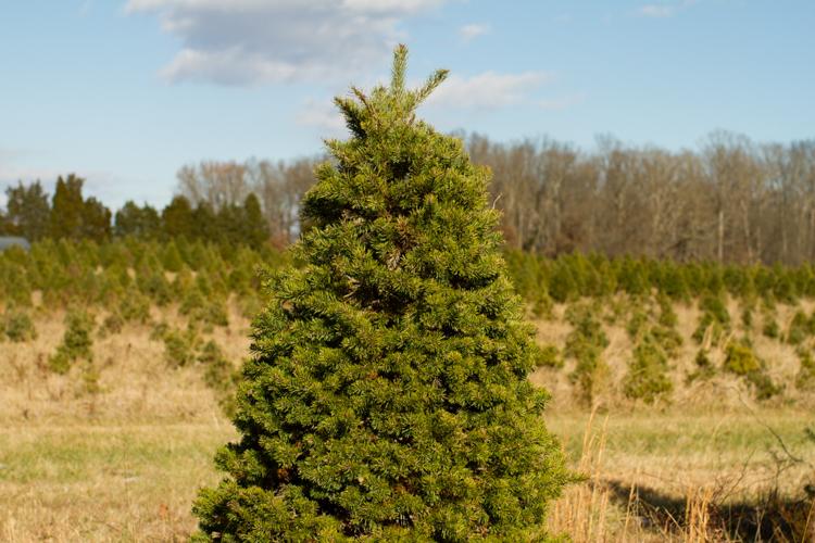 Christmastreefarm9