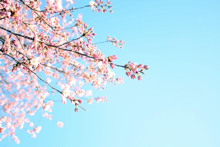 Tidal-basin-cherry-blossoms