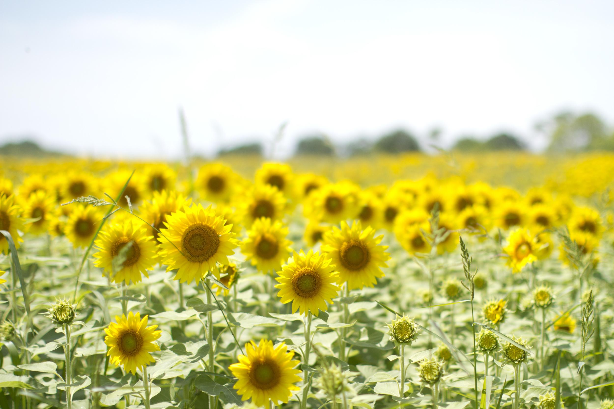Sunflower-field-photographer