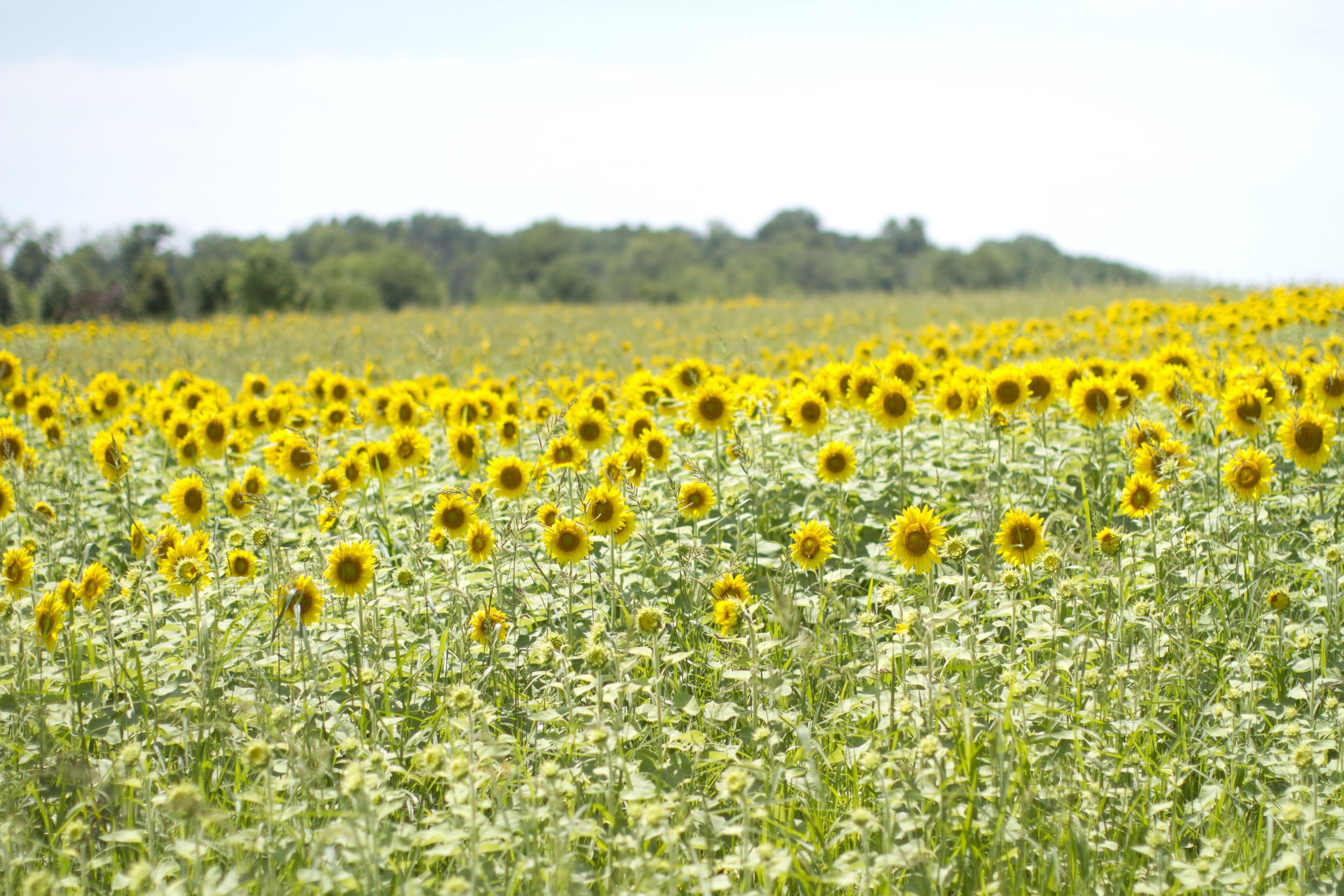 Sunflower-field-Ohio