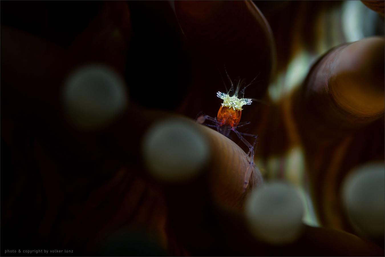 | shrimp – juvenile  | indonesia | lembeh | lembeh strait