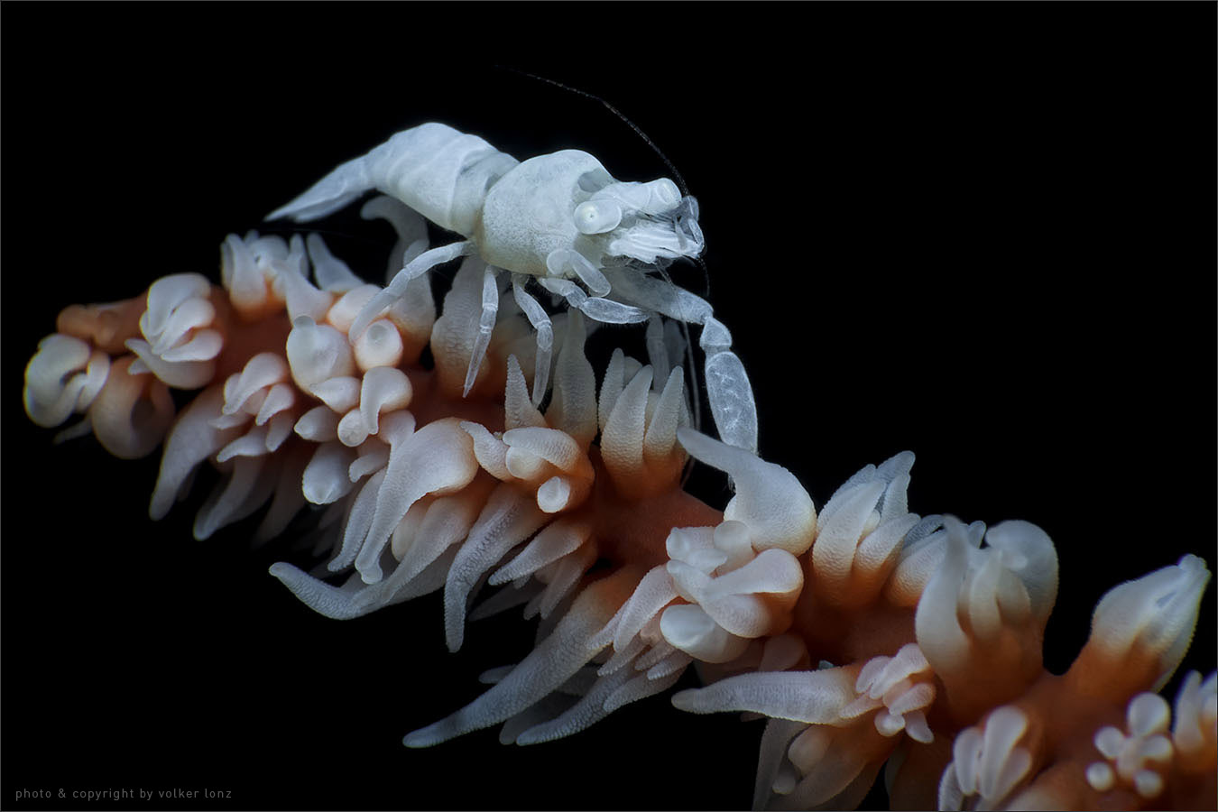 | shrimp  | indonesia | lembeh | lembeh strait