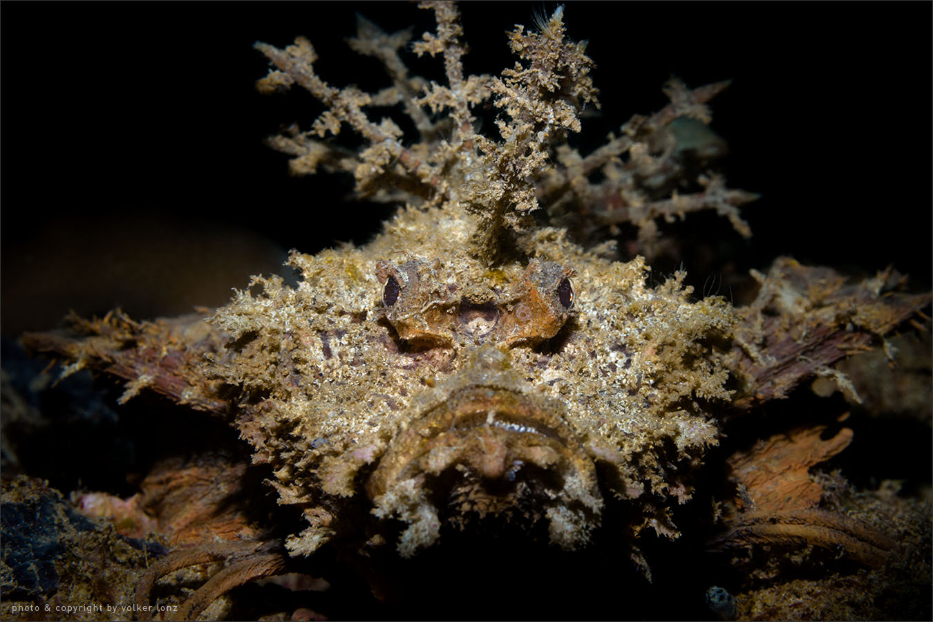 | demon stinger | scorpionfish  | indonesia | bangka | bangka – northwest
