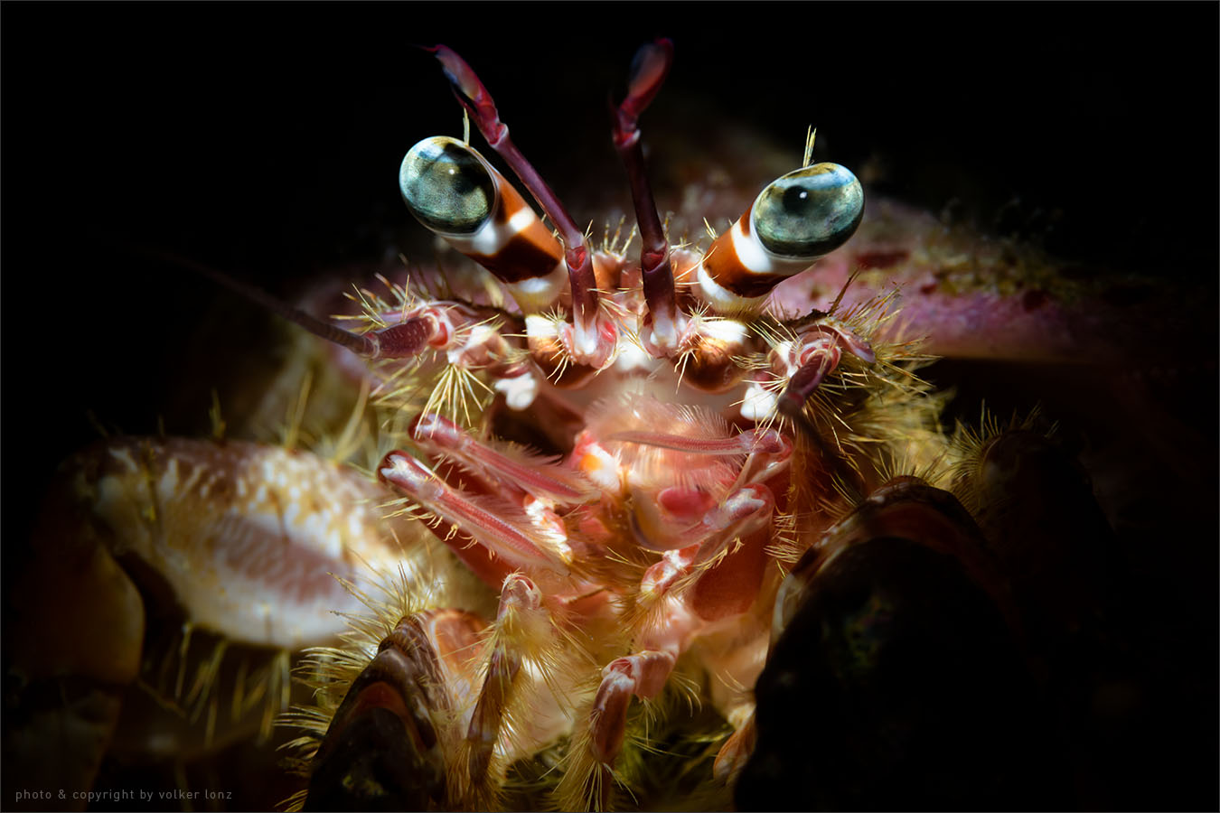 | red hermit crab  | indonesia | sulawesi | kampagnar