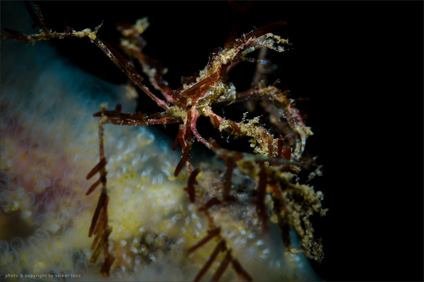 | decorated spider crab |  achaeus sp.   | indonesia | lembeh | lembeh strait