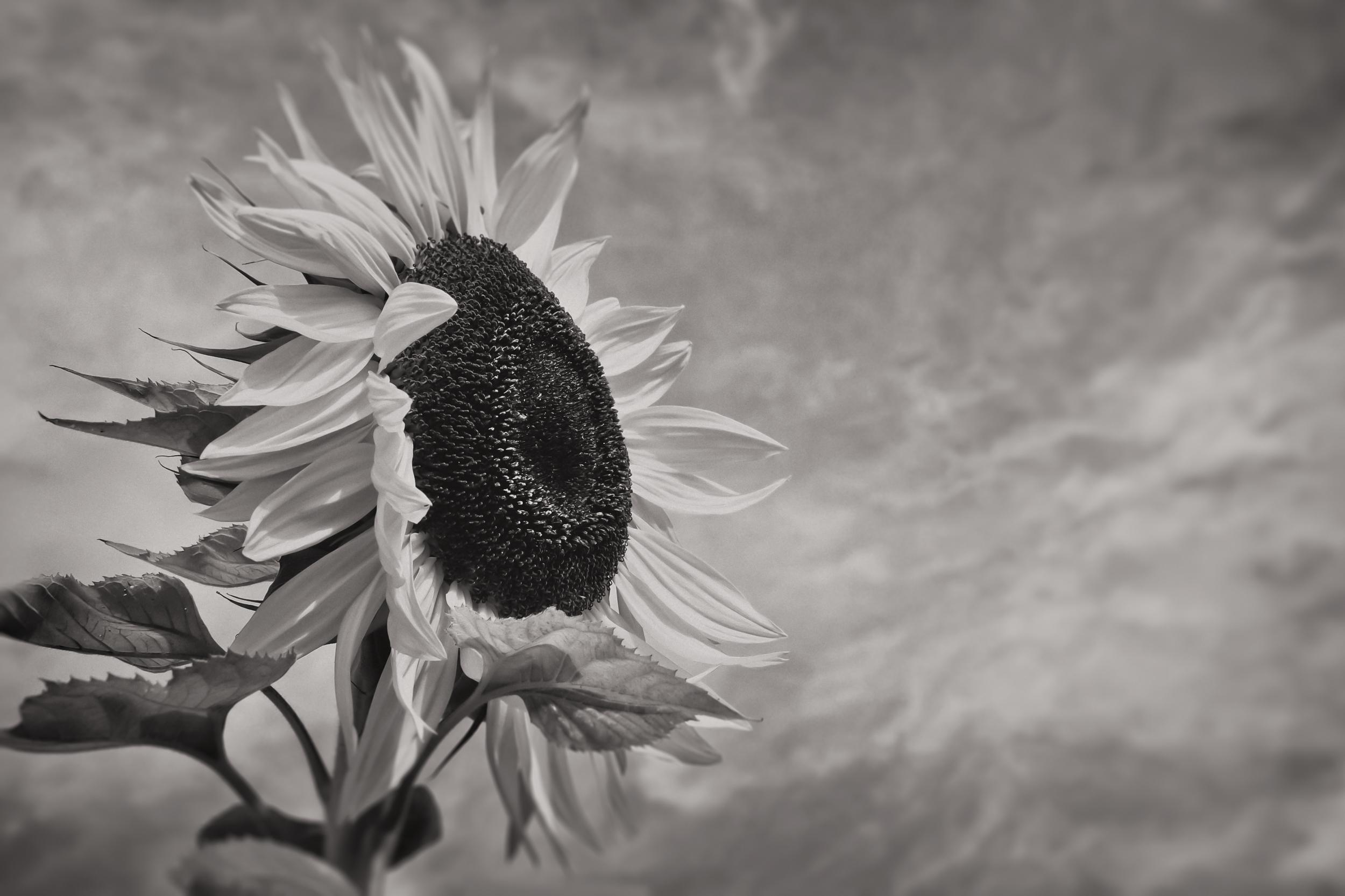 Sunflower   North Brookfield, N.Y.