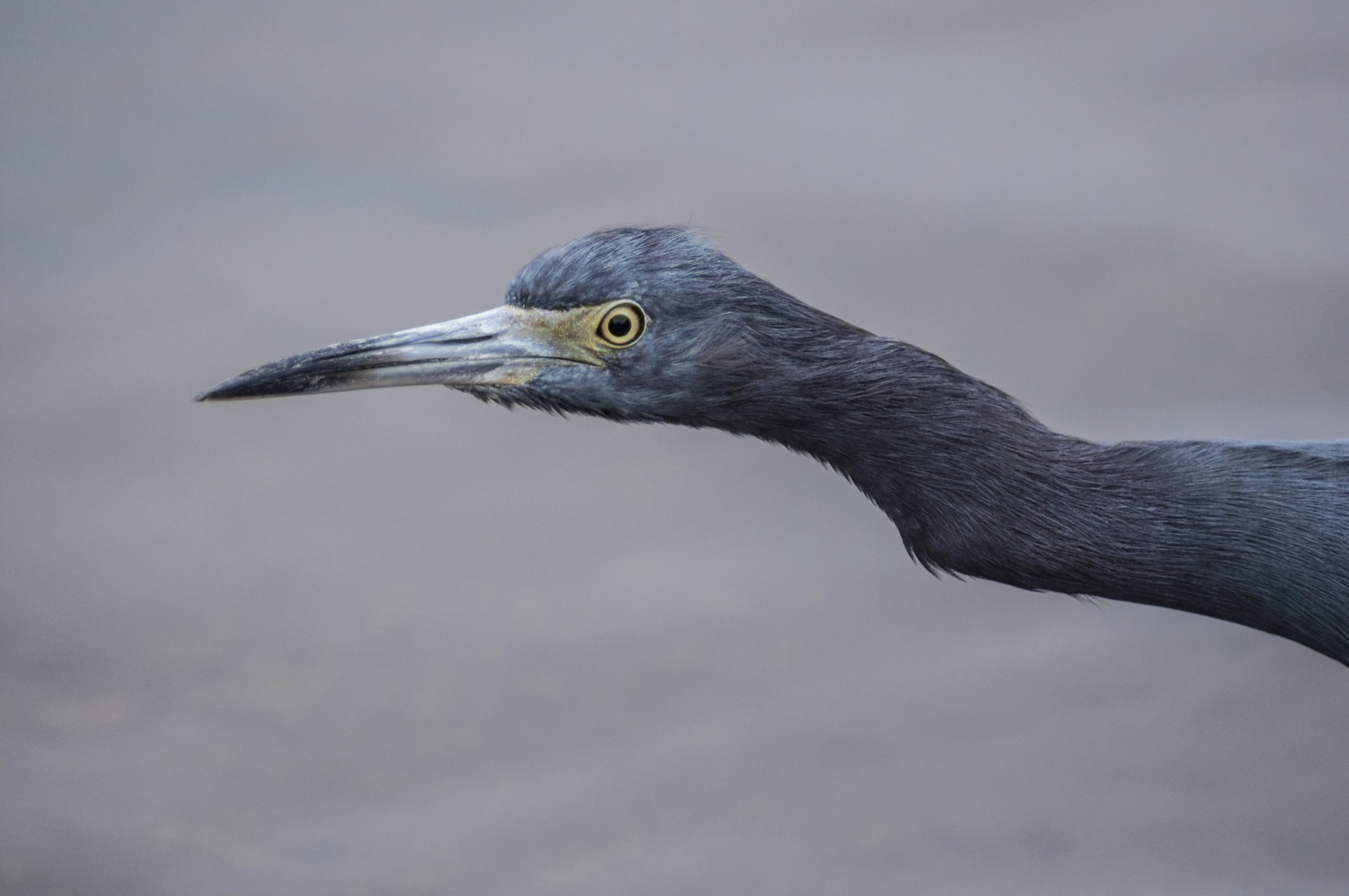 Little Blue Heron   Clearwater, Florida