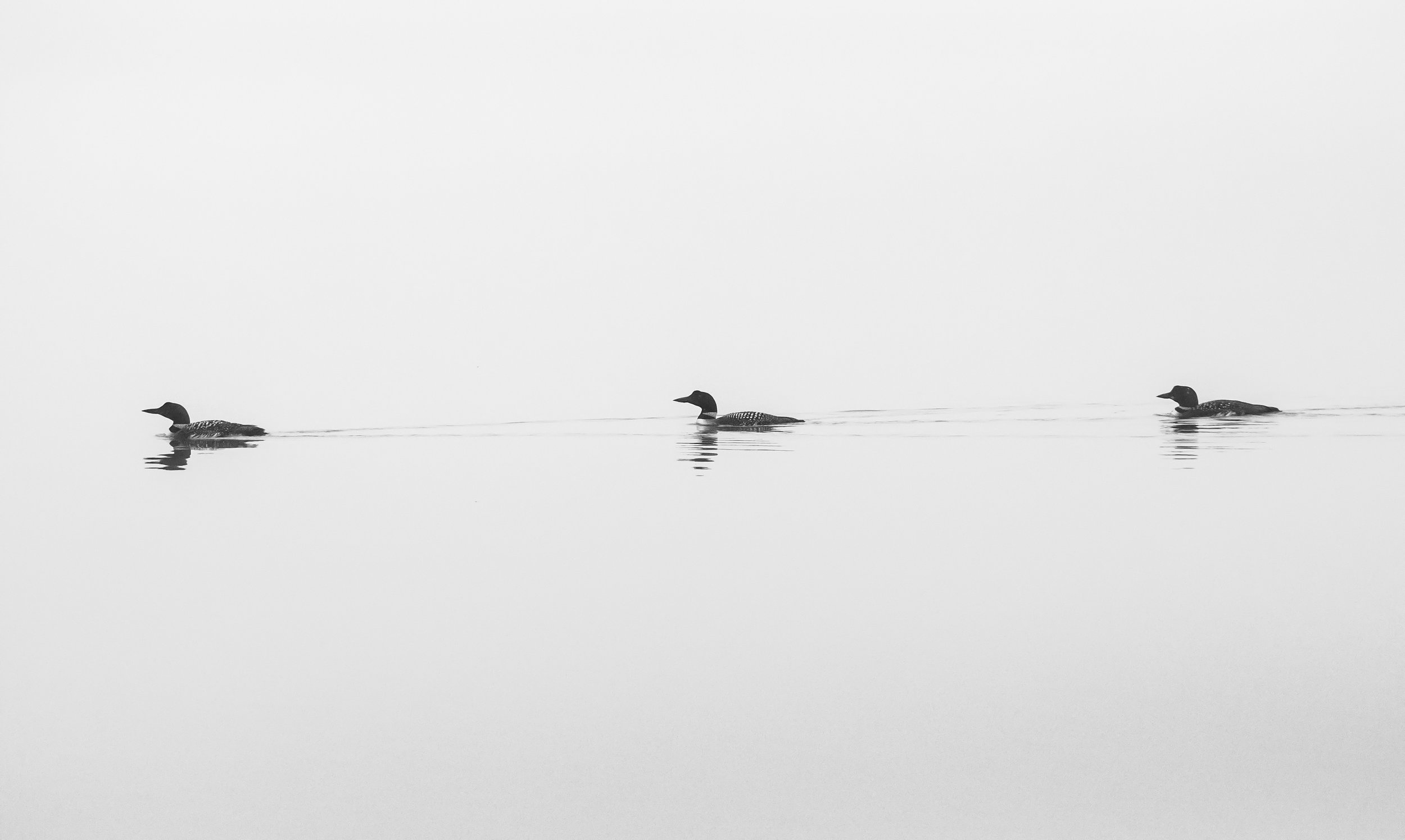 Three   Loons on a foggy Brettun's Pond in Livermore, Maine