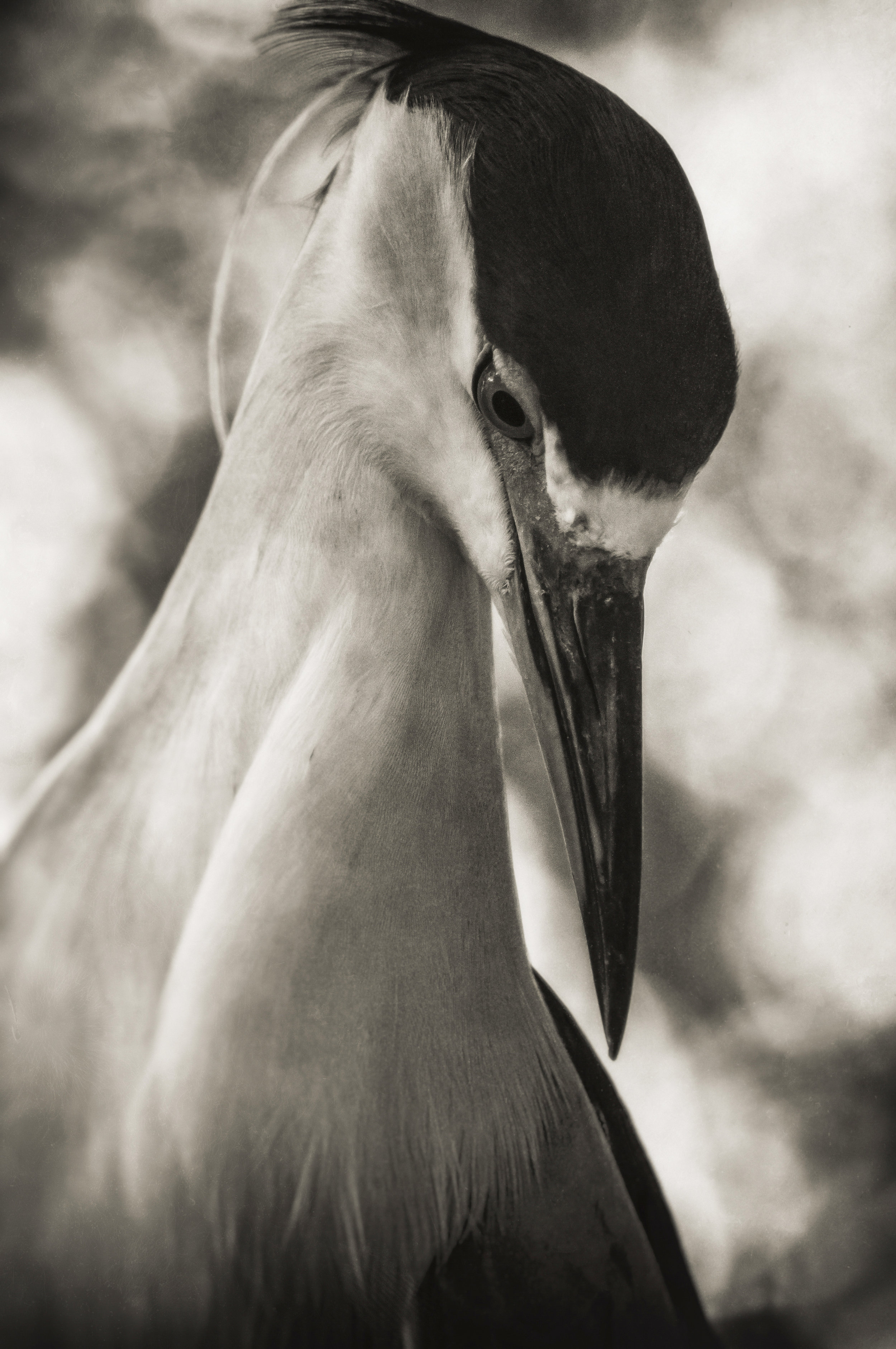 Black-Crowned Night Heron   Homosassa Springs, Florida