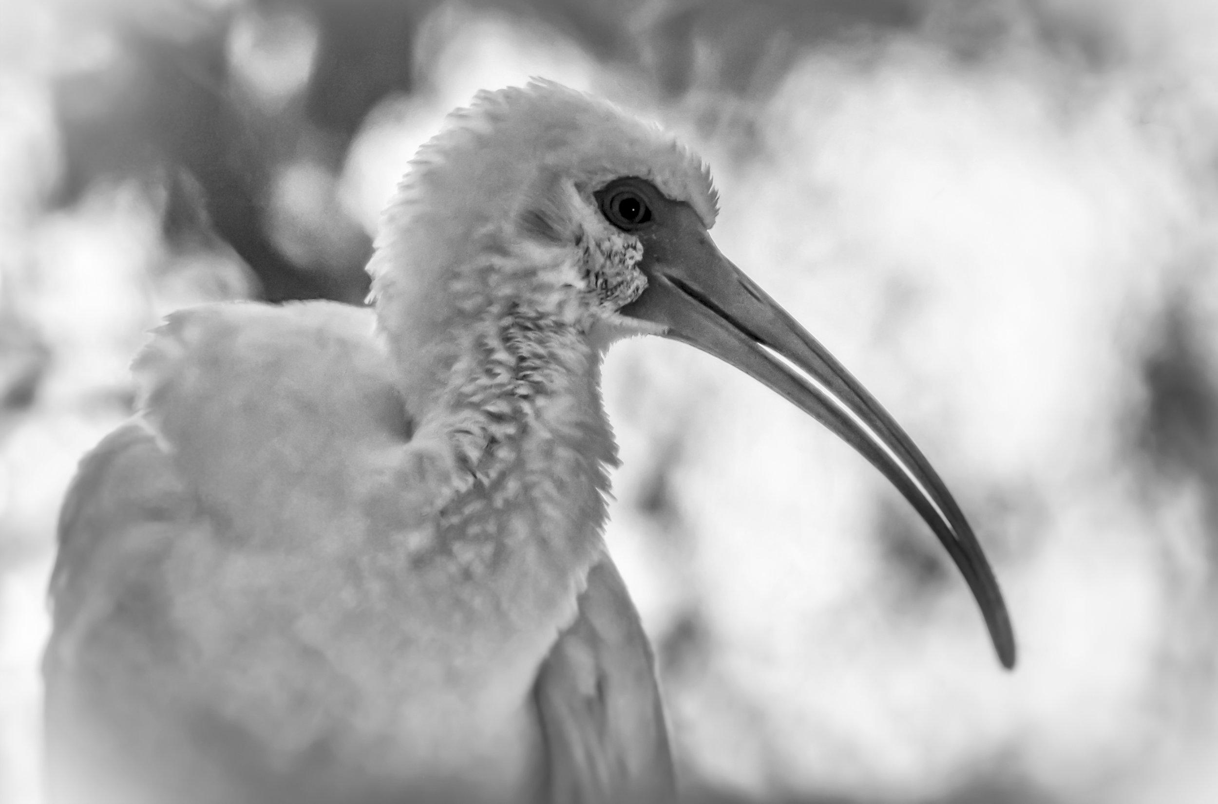 White Ibis   Homosassa Springs, Florida
