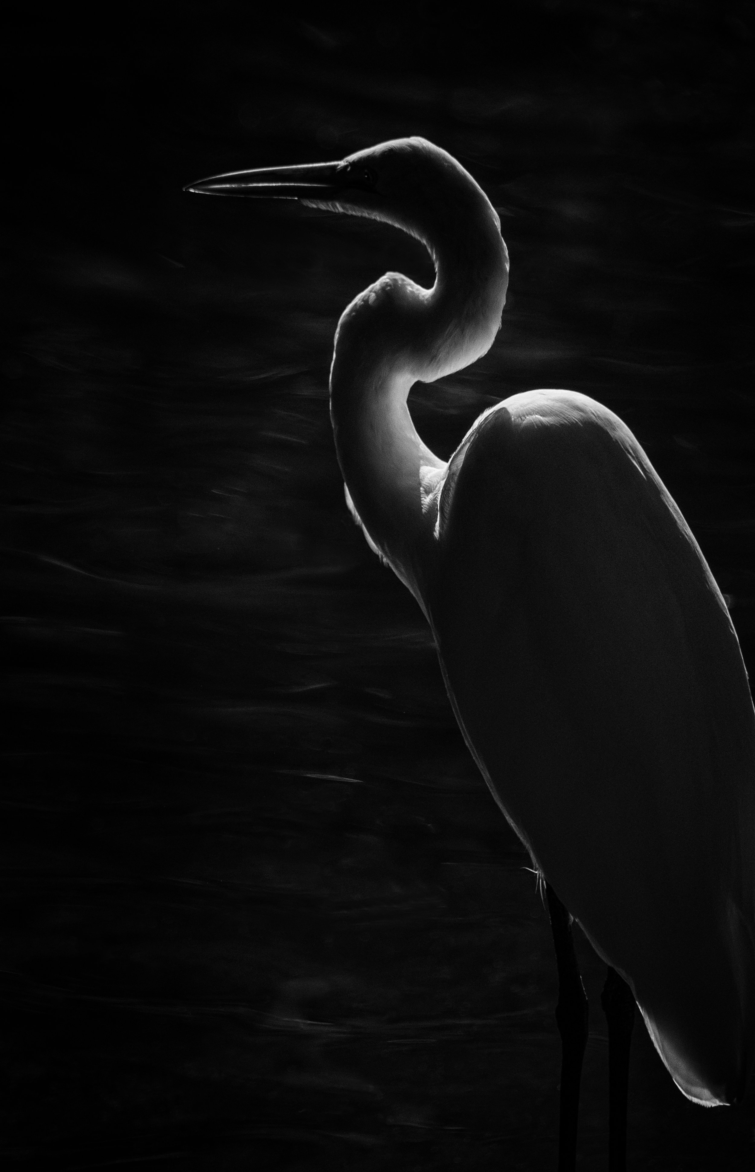 Great Egret   Homosassa Springs, Florida