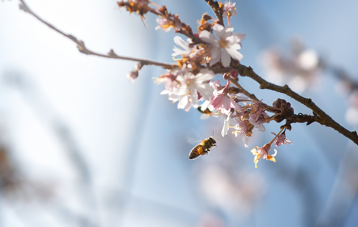 Bee and the Cherry Blossom