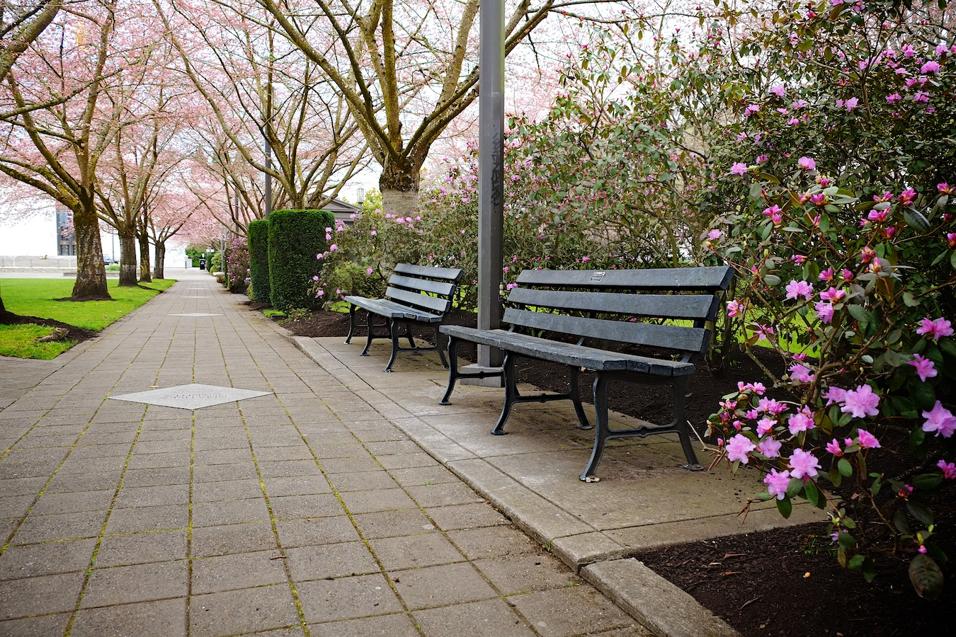 Cherry blooms over the Salem Capitol Mall.Fuji X-E1. 18-55mm.