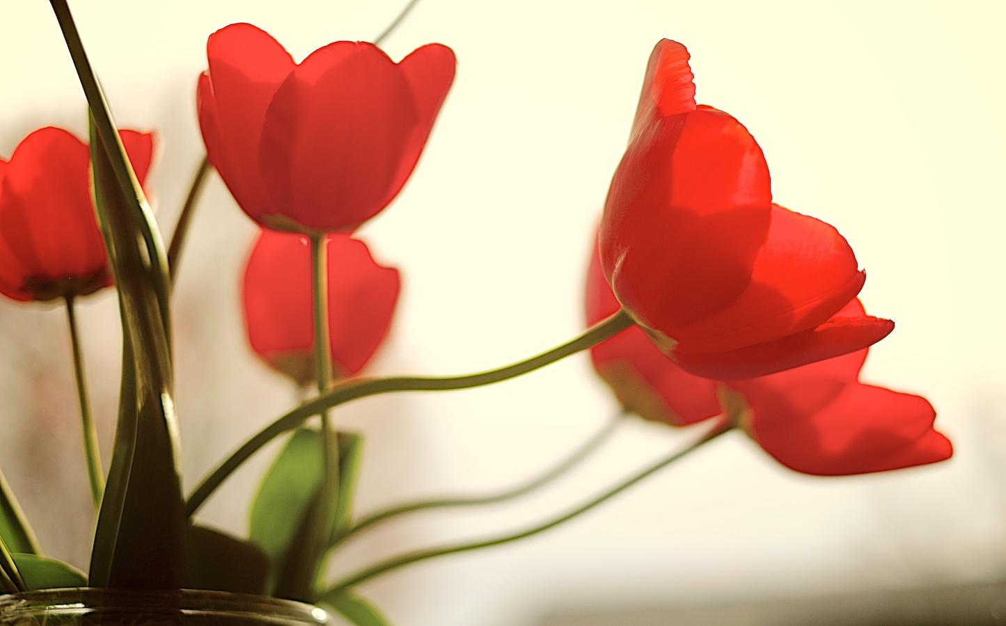 Tulips against the sun. Fujifilm X-E1, XF35mm f/1.4 @ f/1.4, 1/4000, ISO 200